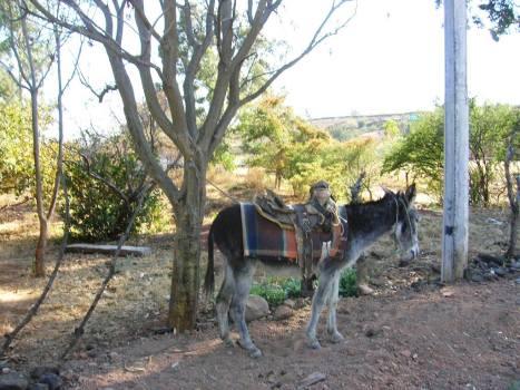 Barrio La Viscosa. El burrito, buena cabalcadura