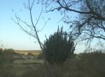 Ziquítaro, calles y paisajes, 48. Mañanita del día 12, hermoso cacto y vista  hacia la loma