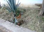 La gallina y sus pollitos en una calle de Ziquítaro