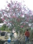 Emmanuel contempla el florido laurel donde Chepa, la tía Chepa
